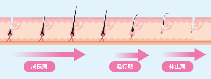 正常な毛周期