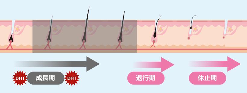 脱毛症の毛周期